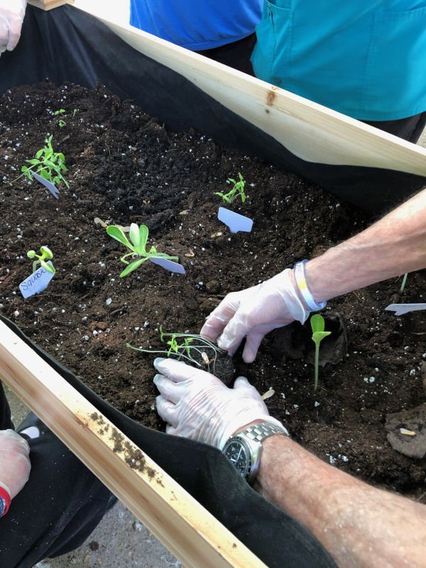Transplanting the plants into raised garden bed
